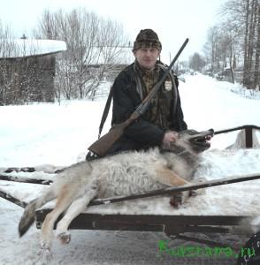 2 февраля силами охотников района была организована облавная охота, и в районе деревни Сидорково было убито два волка