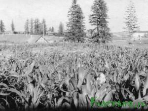 Кукуруза на полях подсобного хозяйства.