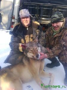 На приваде (с помощью приманки) в районе деревни Боброво охотник А. Шестипалов убил волчицу