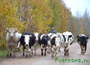 Степан Лозован выгоняет свое стадо в поле